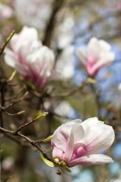 Magnolie Blüte I Magnolia Blossom I haseimglueck.de